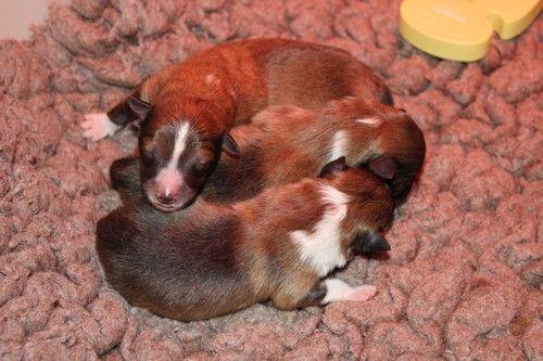 des Bordes Rouges - Chiot disponible  - Shetland Sheepdog