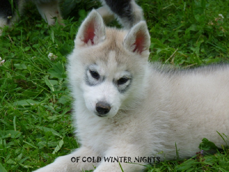 High limited edition dite legacy Of cold winter nights