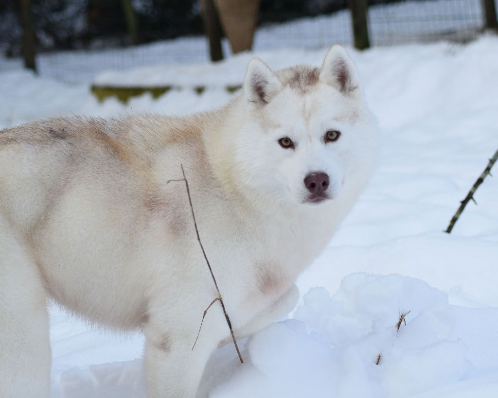 Ekaja's gold aklana sniego sunys