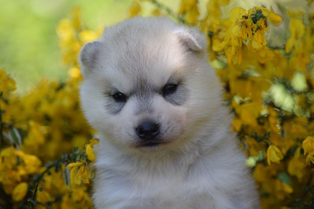 Of cold winter nights - Siberian Husky - Portée née le 05/05/2020