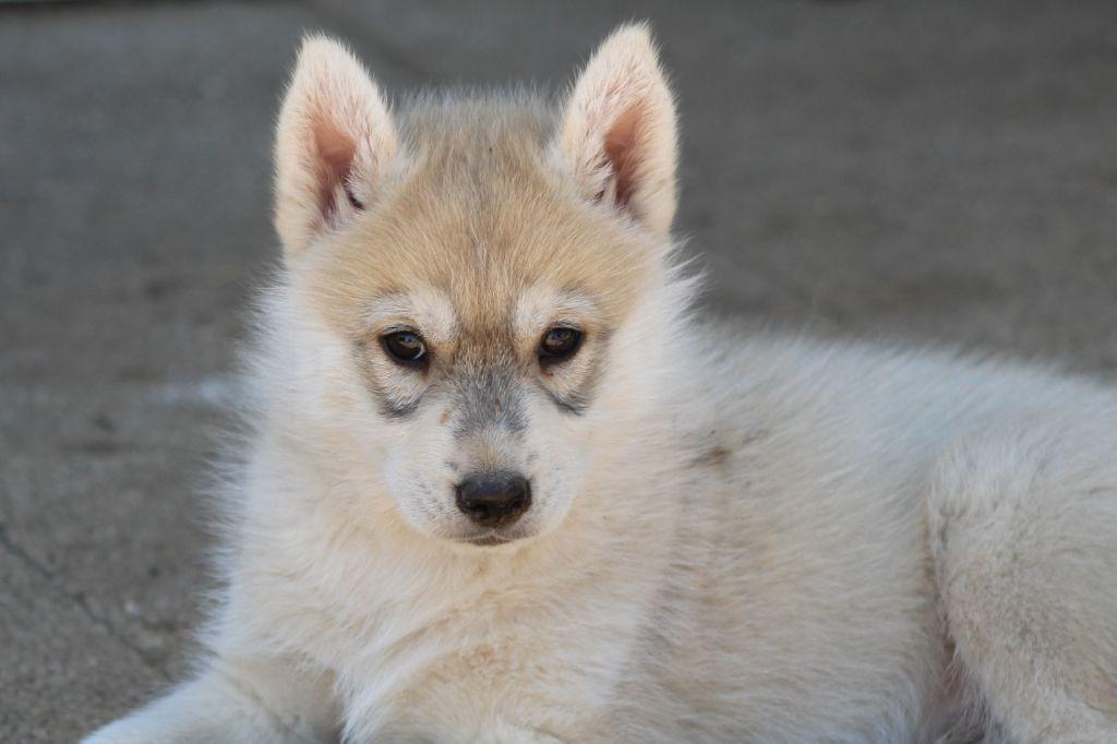 Of cold winter nights - Siberian Husky - Portée née le 07/02/2019