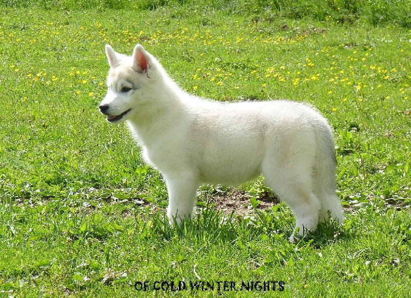 Chiot elevage siberian husky of cold winter nights - Race chien volt ...