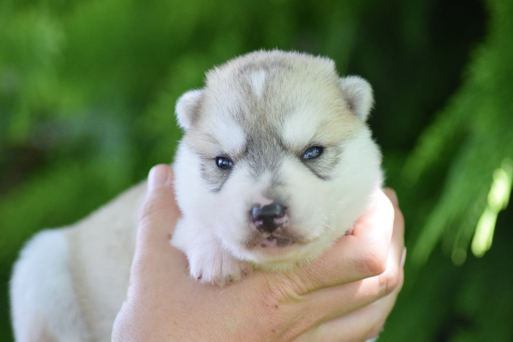 Of cold winter nights - Chiot disponible  - Siberian Husky