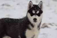 Of cold winter nights - Siberian Husky - Portée née le 31/10/2018