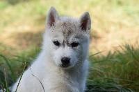 Of cold winter nights - Siberian Husky - Portée née le 01/08/2017