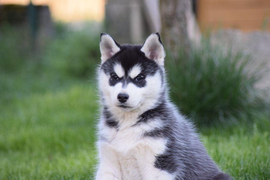 Of cold winter nights - Siberian Husky - Portée née le 13/02/2017
