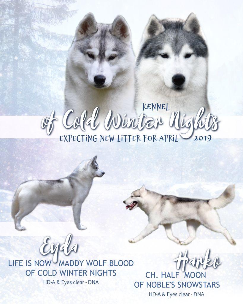 Of cold winter nights - Siberian Husky - Portée née le 11/04/2019
