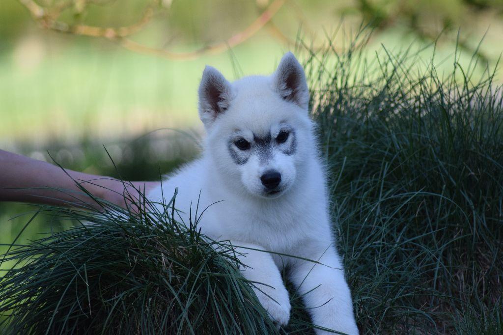 Of cold winter nights - Siberian Husky - Portée née le 21/02/2017