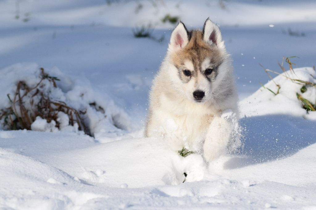 Of cold winter nights - Siberian Husky - Portée née le 25/09/2017