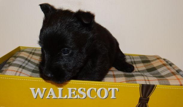 Walescot- kinloch - Chiot disponible  - Scottish Terrier
