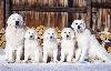 - En Russie: Joy Snow Bear Giant des Arcanes d'Hermes