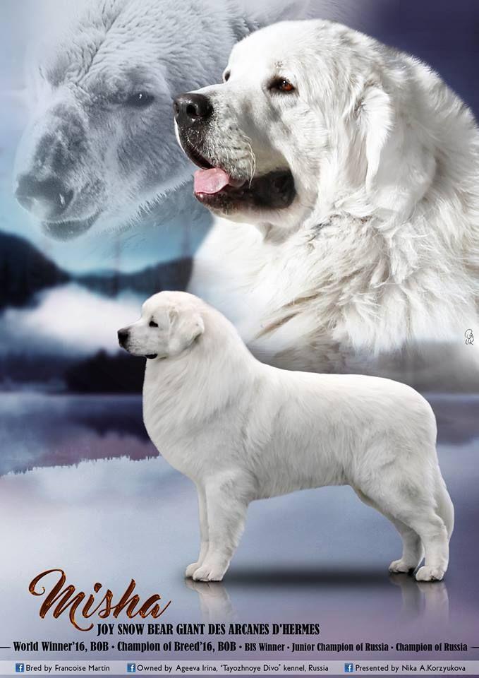 CH. Joy snow bear giant des Arcanes D'Hermes
