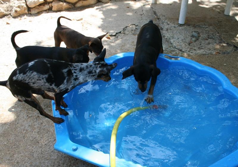 Photo elevage dragon vale eleveur de chiens pinscher nain for Journee piscine
