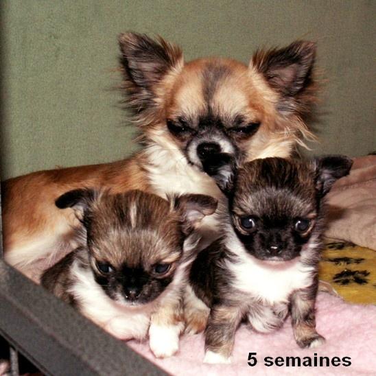 De la niche imperiale - Chihuahua - Portée née le 15/01/2013