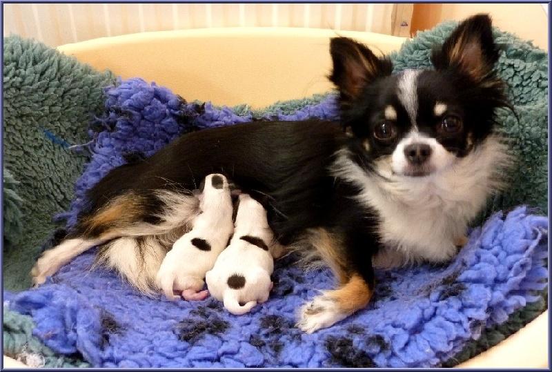 De la niche imperiale - Chihuahua - Portée née le 16/10/2010