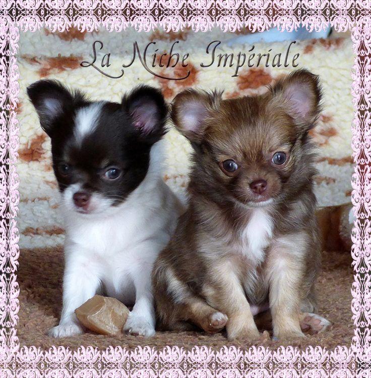 chiot Chihuahua De la niche imperiale