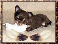 De la niche imperiale - Chihuahua - Portée née le 26/10/2016