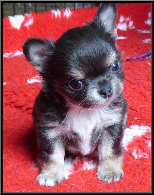 De la niche imperiale - Chiot disponible  - Chihuahua