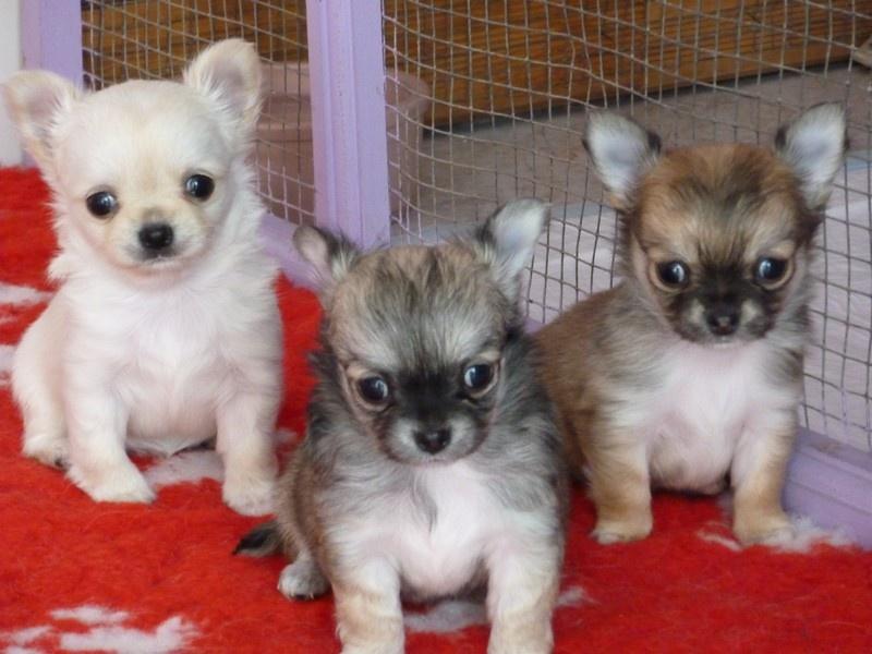 De la niche imperiale - Chihuahua - Portée née le 08/02/2010