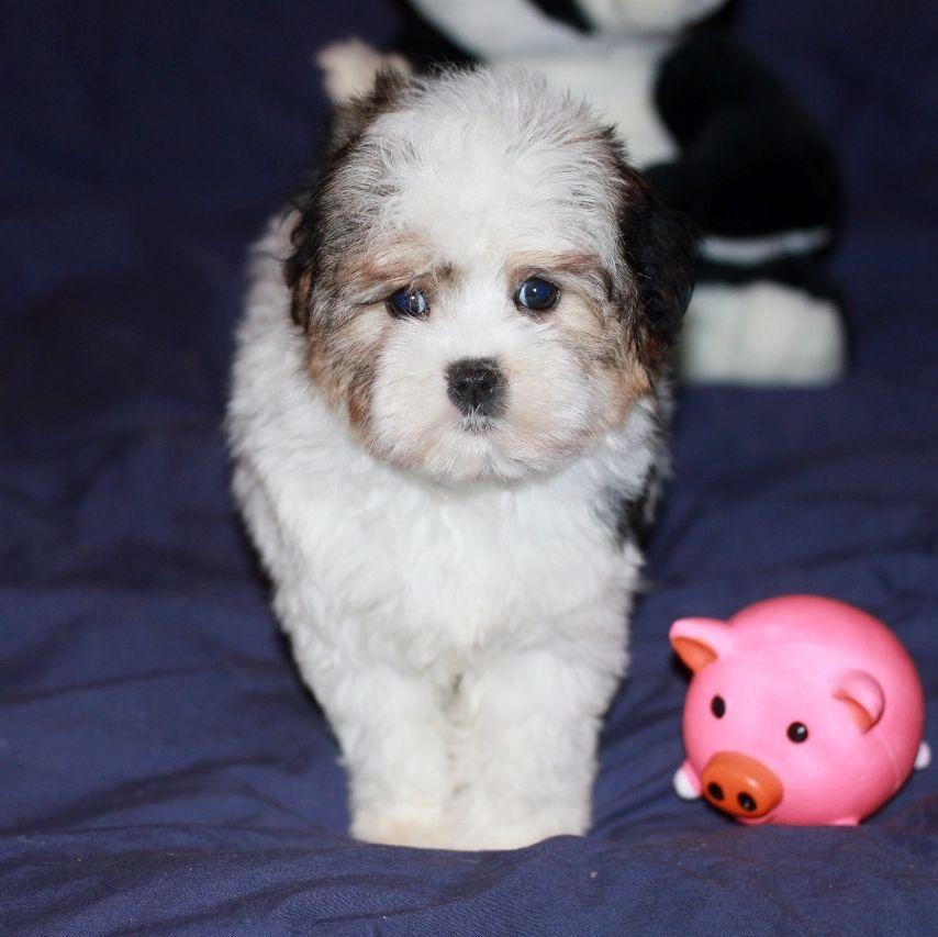 Des doux angelots - Chiot disponible  - Petit chien lion