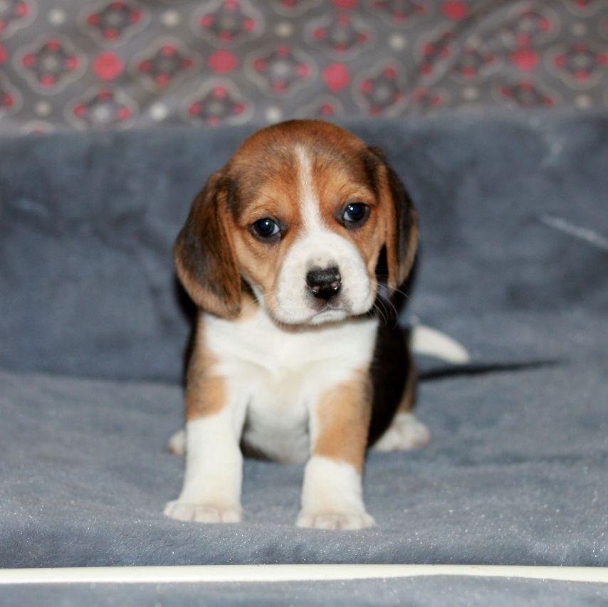 Des doux angelots - Chiot disponible  - Beagle
