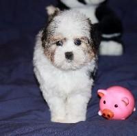 Des doux angelots - Petit chien lion - Portée née le 09/11/2019