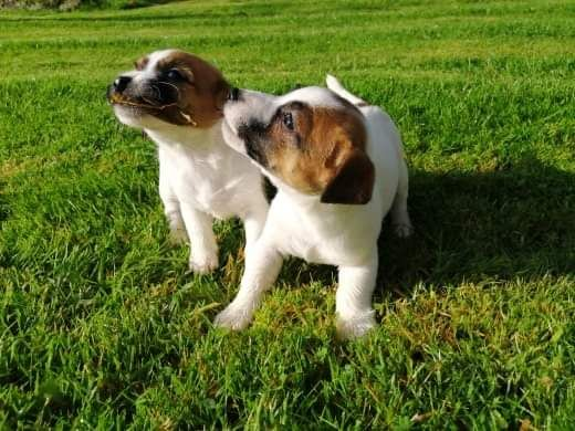 Du logis de beaumanoir - Chiot disponible  - Jack Russell Terrier