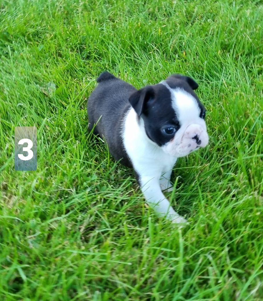 Du logis de beaumanoir - Chiot disponible  - Boston Terrier