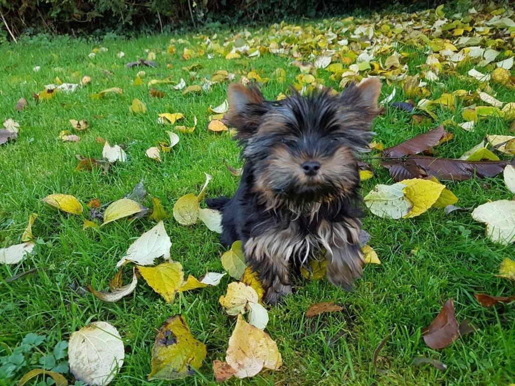 chiot Yorkshire Terrier Du logis de beaumanoir