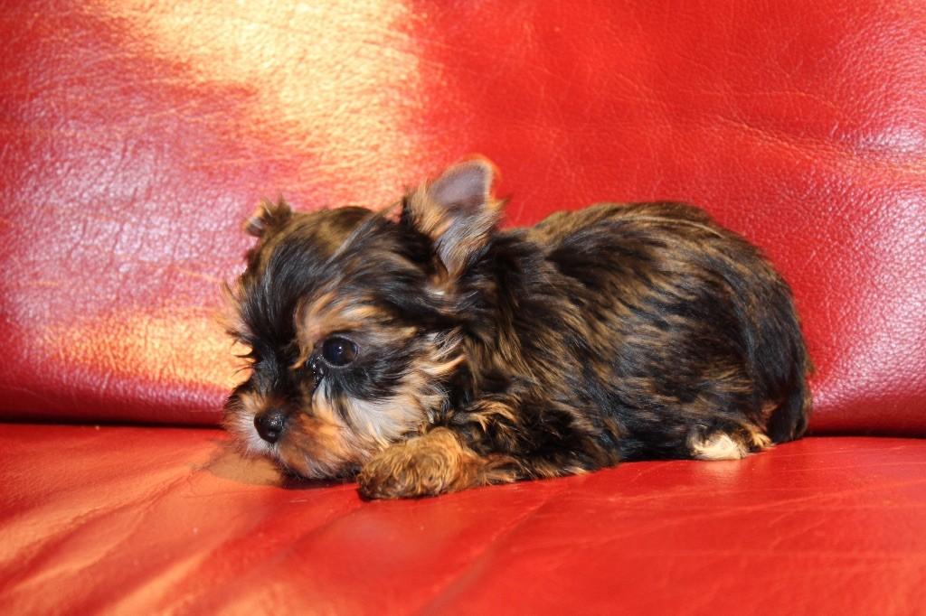 Du logis de beaumanoir - Chiot disponible  - Yorkshire Terrier