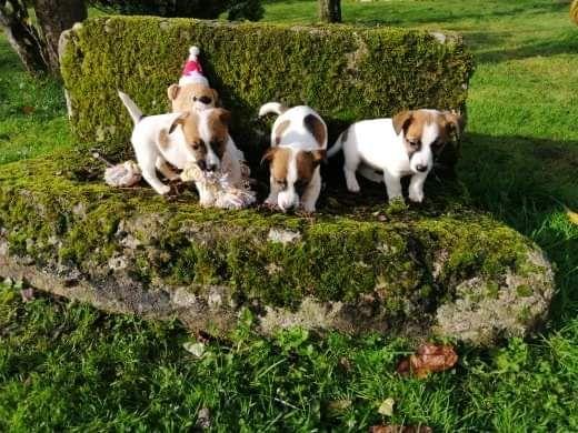 Du logis de beaumanoir - Jack Russell Terrier - Portée née le 08/09/2019