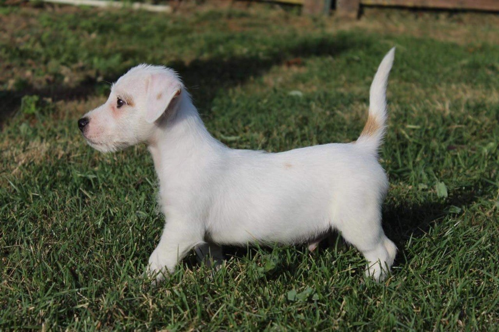 chiot Jack Russell Terrier Du logis de beaumanoir