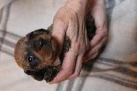 Nain kaninchen fauve charbonné