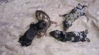 Arlequin noir nain ou kaninchen