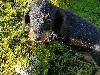 Pimbeche kaninchen voire petite naine noire et feu