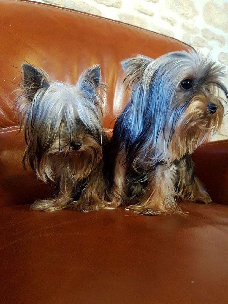 Du logis de beaumanoir - Chiot disponible  - Yorkshire Terrier