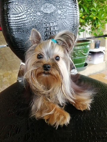 chiot Yorkshire Terrier Du logis de beaumanoir