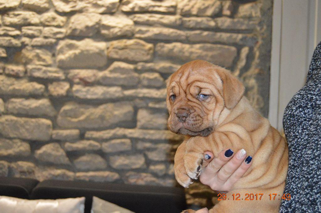 NESSY - Dogue de Bordeaux