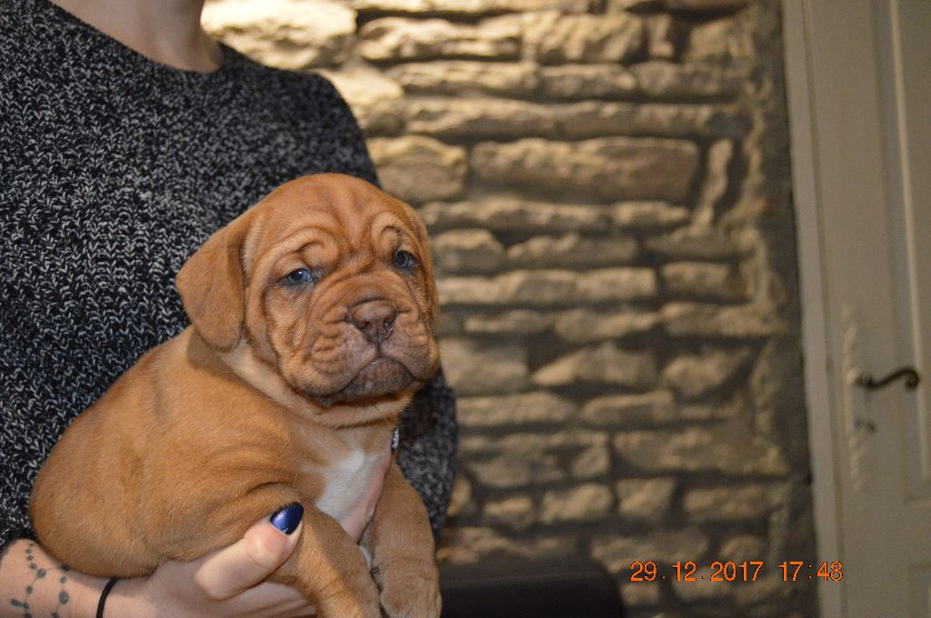 NIILIII  - Dogue de Bordeaux