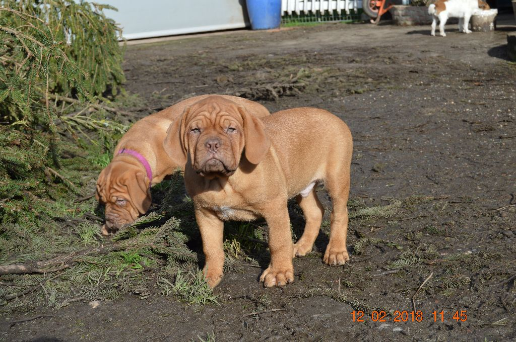 NORBERT - Dogue de Bordeaux