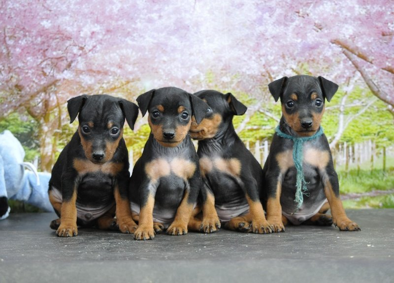 Pinscher nain elevage ile de france