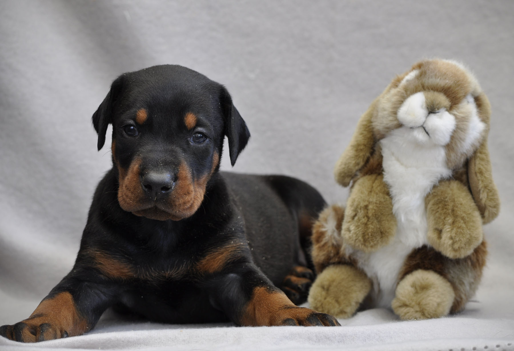 Of devil inside - Chiot disponible  - Dobermann