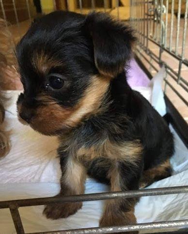 Du puits des sortileges - Chiot disponible  - Yorkshire Terrier