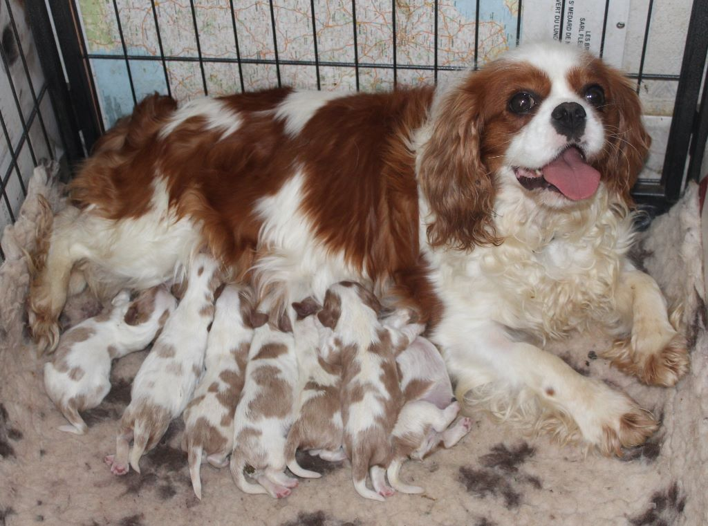 Du puits des sortileges - Chiot disponible  - Cavalier King Charles Spaniel