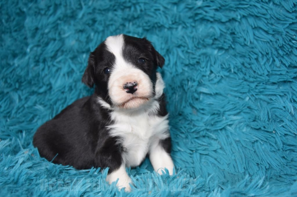 Dream From Highland's - Chiot disponible  - Bearded Collie