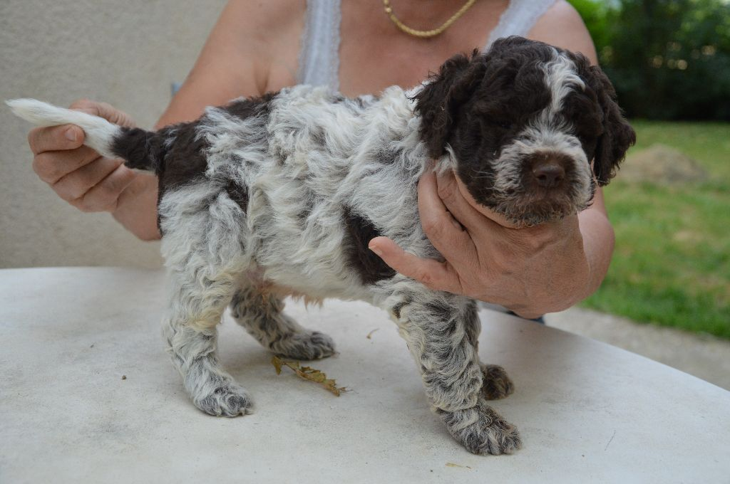 Du mas de rognard - Chiot disponible  - Lagotto Romagnolo