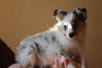 de Moorstile - Chiot disponible  - Shetland Sheepdog