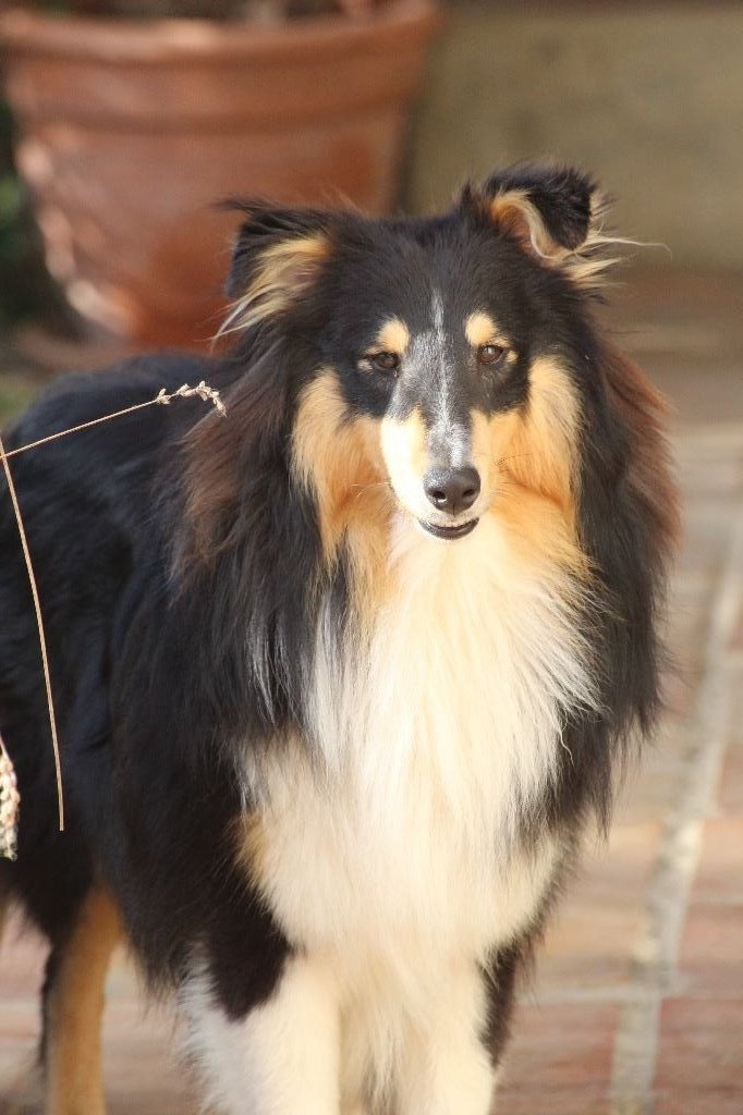 de Moorstile - Chiot disponible  - Shetland Sheepdog