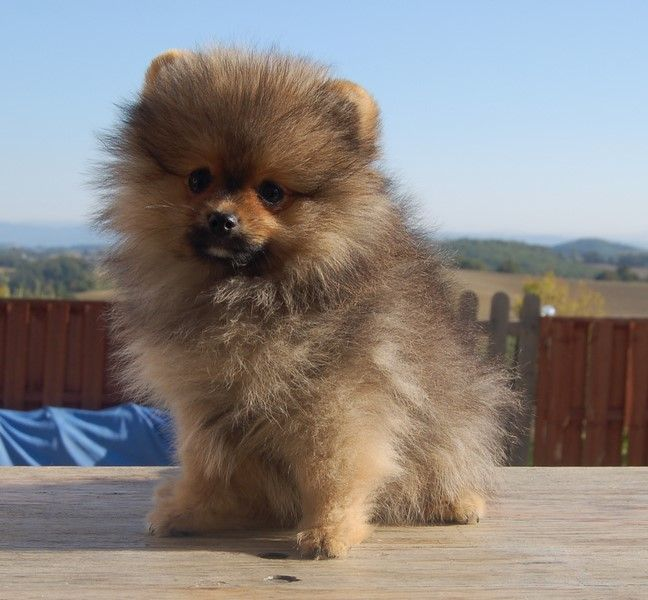Born in rosebud - Chiot disponible  - Spitz allemand