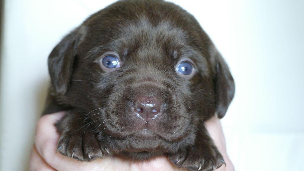 du Bois des Lilas - Chiot disponible  - Labrador Retriever
